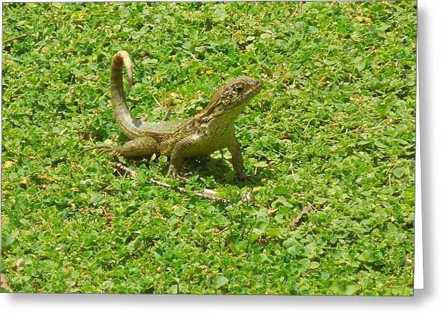 Curly-tailed Lizard Greeting Card by Ron Davidson