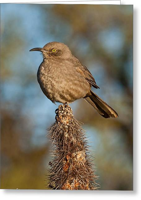 Curve-billed Thrasher On A Cactus Greeting Card