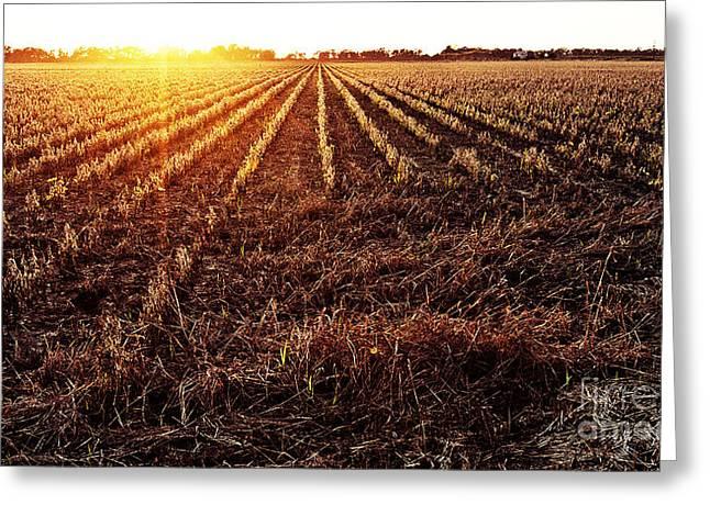Cut Bean Field Greeting Card