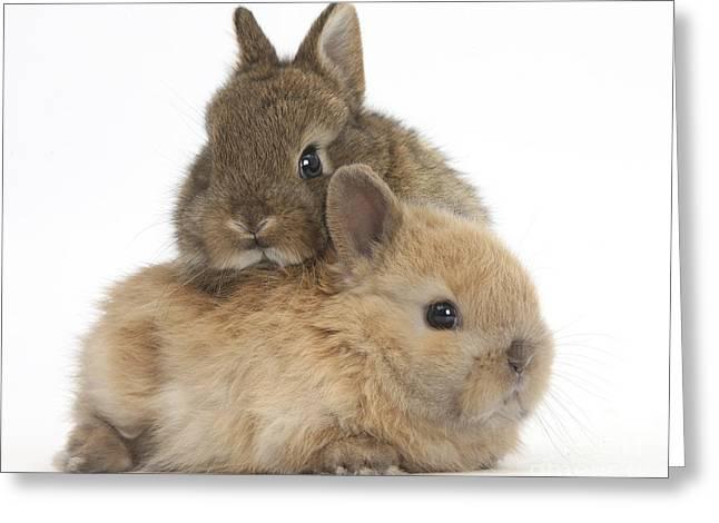 Cute Baby Netherland Dwarf Rabbits Greeting Card by Mark Taylor