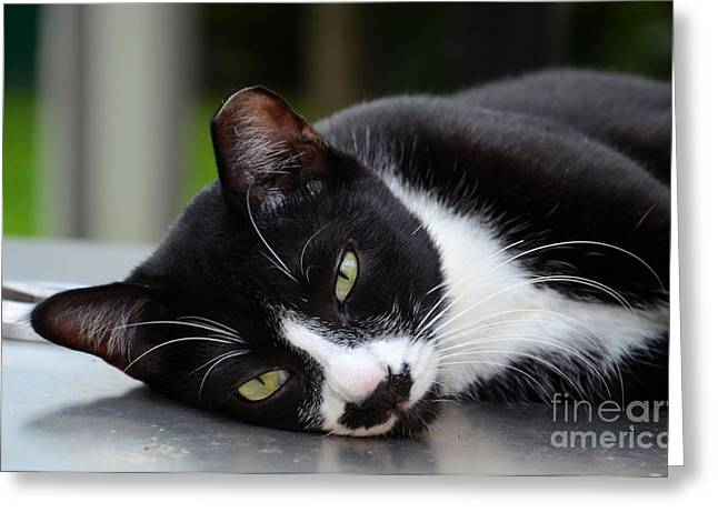 Cute Black And White Tuxedo Cat With Nipped Ear Rests  Greeting Card
