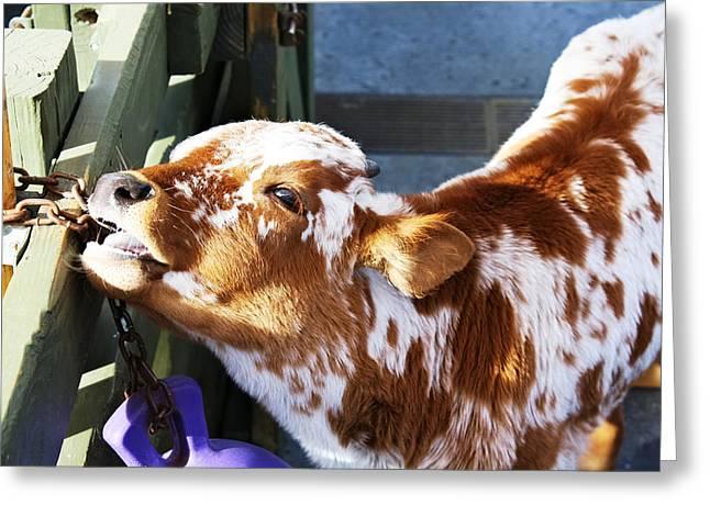 Cute Calf Greeting Card