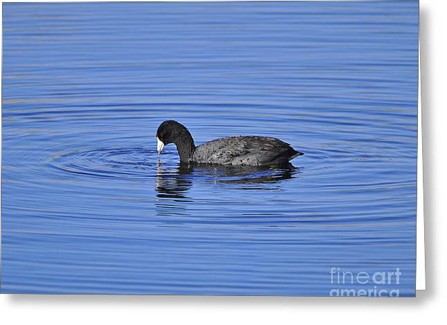 Cute Coot Greeting Card by Al Powell Photography USA