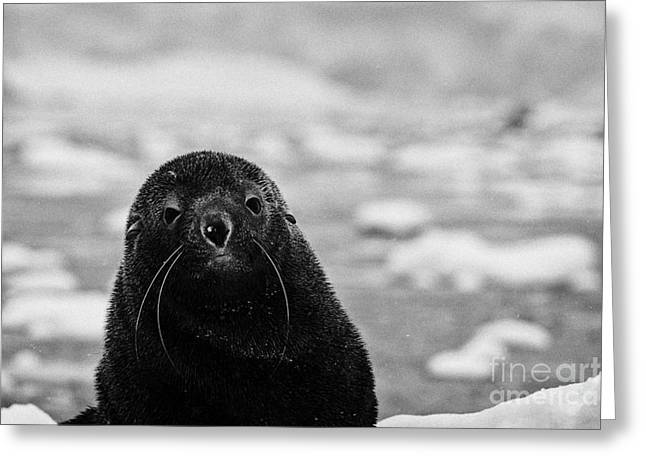 cute juvenile fur seal looking to camera floating on iceberg in Fournier Bay Antarctica Greeting Card by Joe Fox