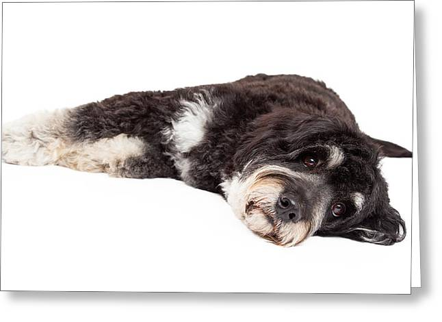 Cute Poodle Mix Breed Dog Laying Down Greeting Card by Susan Schmitz