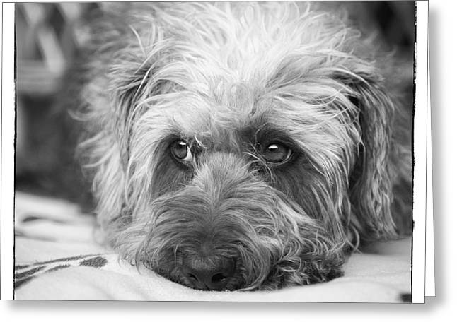 Cute Scruffy Pup In Black And White Greeting Card by Natalie Kinnear