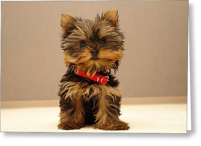 Cute Terrier Puppy Greeting Card