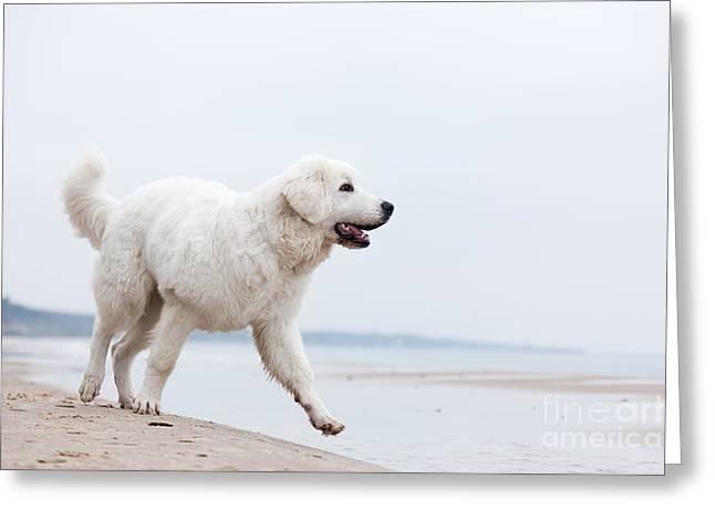 Cute White Dog Walking On The Beach Greeting Card