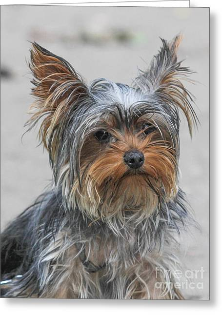 Cute Yorky Portrait Greeting Card by Jivko Nakev