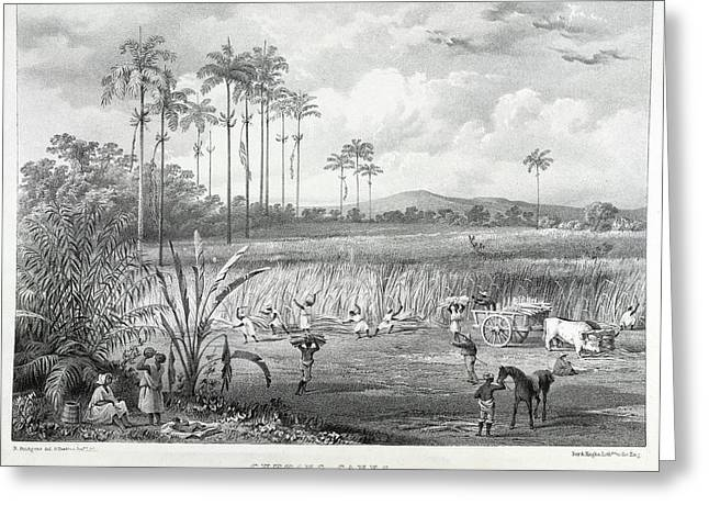 Cutting Canes Greeting Card by British Library