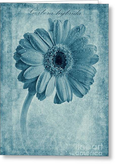 Cyanotype Gerbera Hybrida With Textures Greeting Card by John Edwards