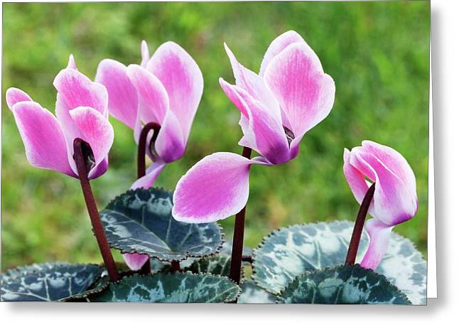 Cyclamen Hederifolium 'metis' Greeting Card by Ann Pickford