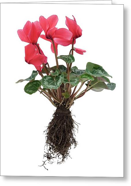 Cyclamen Sp. Plant In Flower Greeting Card