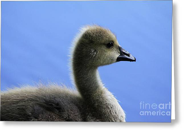 Greeting Card featuring the photograph Cygnet by Alyce Taylor