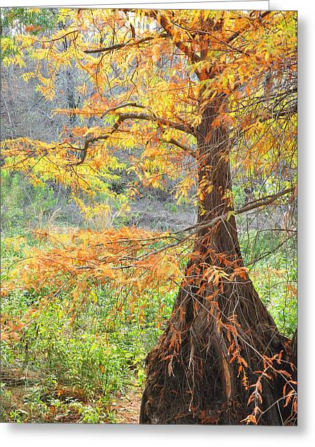 Cypress In Autumn Greeting Card