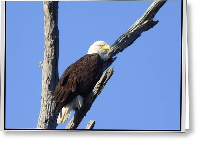 Cypress Island Eagle Greeting Card