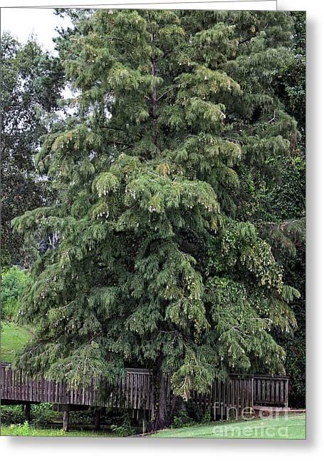 Cypress Tree Covered Bridge Greeting Card