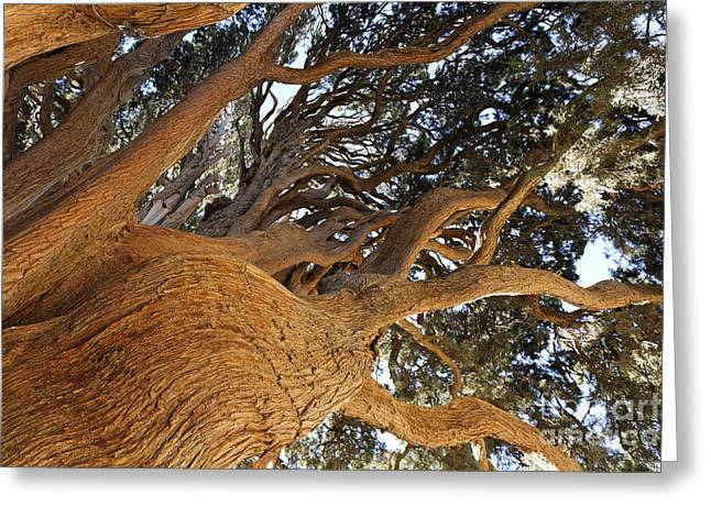 Cypress Tree In Iran Greeting Card by Robert Preston