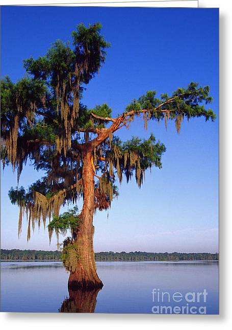 Cypress With Spanish Moss Greeting Card by Thomas R Fletcher