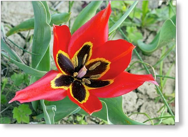 Cyprus Tulip (tulipa Agenensis) Flower Greeting Card by Bob Gibbons