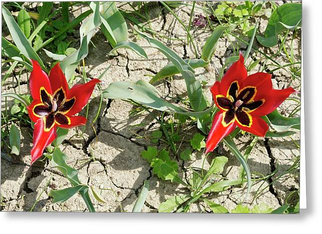 Cyprus Tulip (tulipa Agenensis) Flowers Greeting Card by Bob Gibbons