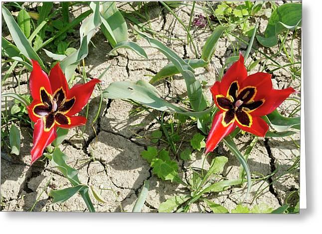 Cyprus Tulip (tulipa Agenensis) Flowers Greeting Card