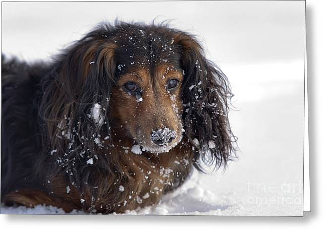 Dachshund In The Winter Greeting Card