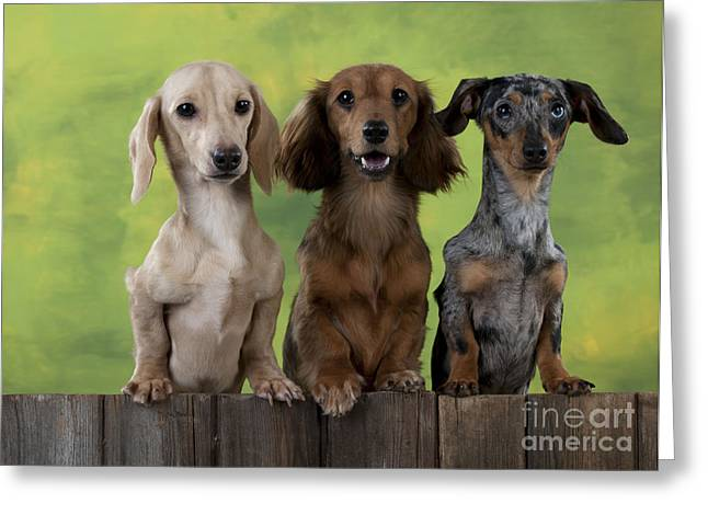 Dachshunds Looking Over Fence Greeting Card by John Daniels