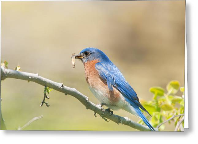Daddy Bluebird Greeting Card