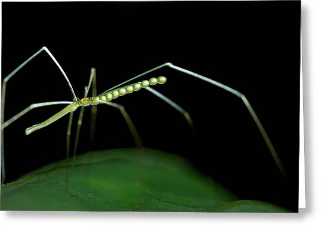 Daddy Long-legs Spider Greeting Card by Melvyn Yeo