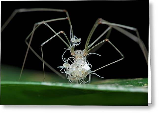 Daddy Long-legs Spider With Spiderlings Greeting Card by Melvyn Yeo