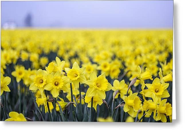 Daffodil Blur Greeting Card by Tony Locke