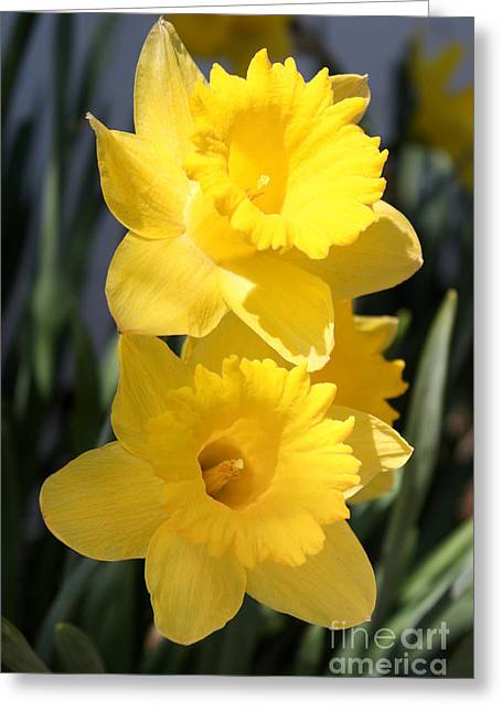 Daffodil Delight Greeting Card