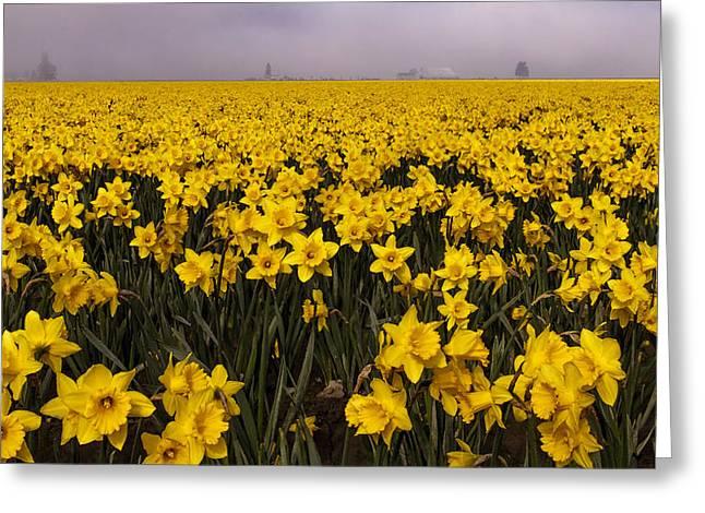 Daffodil Fields Of Fog Greeting Card by Tony Locke