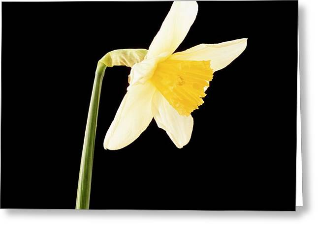 Daffodil Flower Opening (6 Of 6) Greeting Card