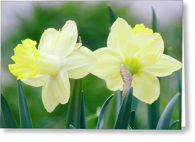 Daffodil Flowers (narcissus Sp.) Greeting Card by Maria Mosolova/science Photo Library