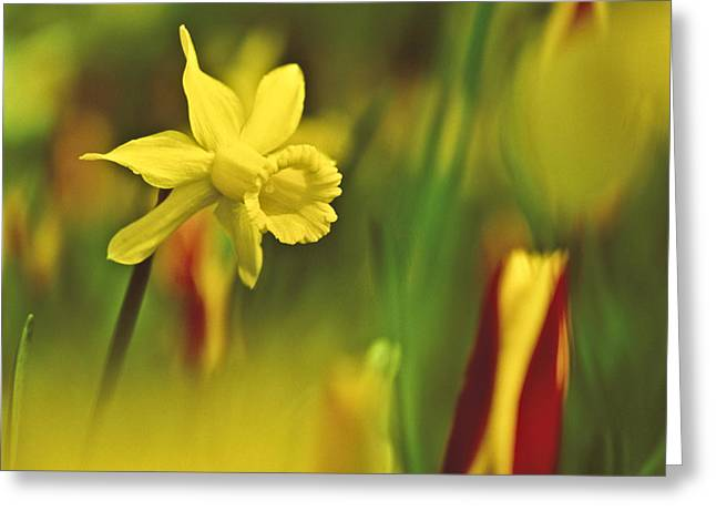 Daffodil Greeting Card by Heiko Koehrer-Wagner