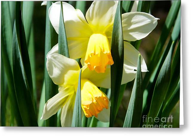 Greeting Card featuring the photograph Daffodil Hug by Kristen Fox