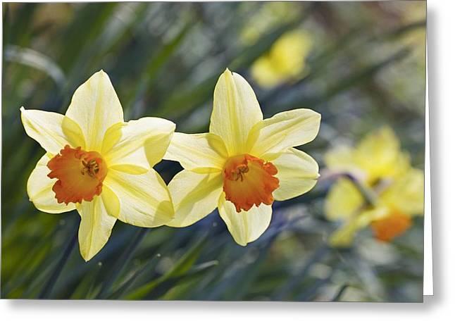 Daffodil (narcissus 'red Devon' Greeting Card