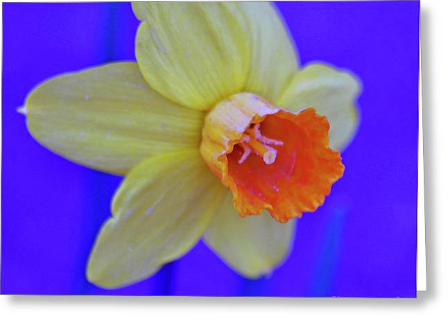 Greeting Card featuring the photograph Daffodil On Blue by Juls Adams