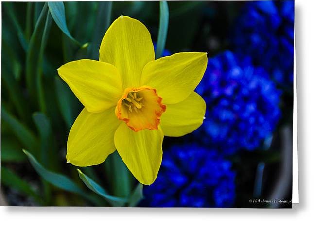 Greeting Card featuring the photograph Daffodil by Phil Abrams