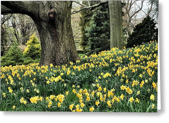 Daffodil Spring Greeting Card by JC Findley