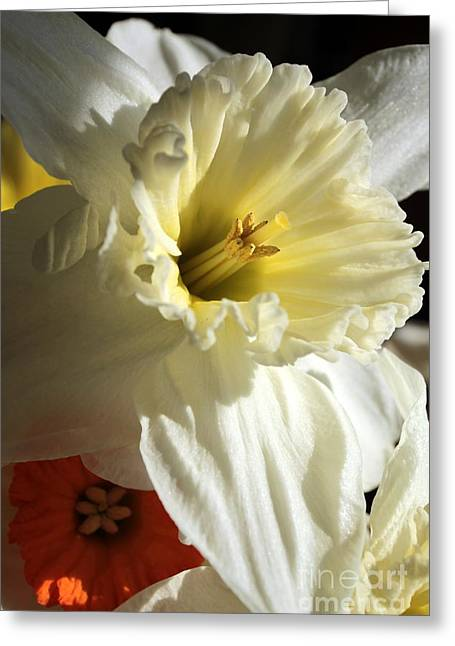 Daffodil Still Life Greeting Card by Kenny Glotfelty