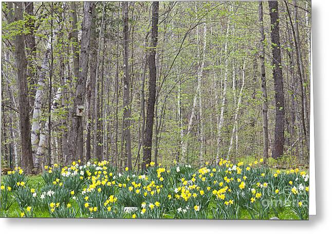 Daffodil Woods Greeting Card