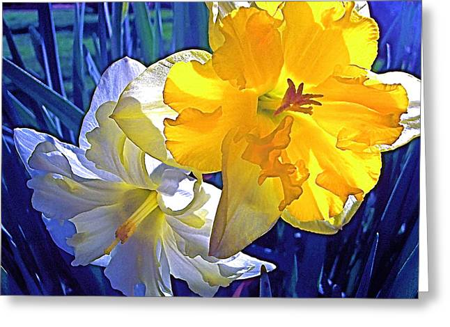 Daffodils 1 Greeting Card by Pamela Cooper