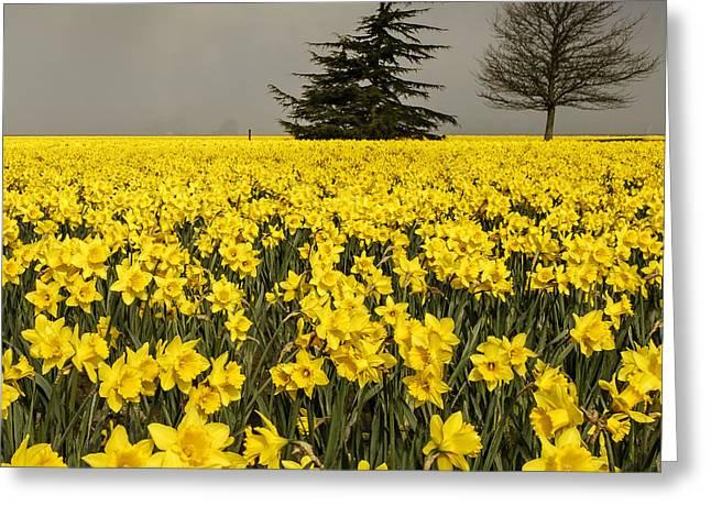 Daffodils A Plenty Greeting Card by Tony Locke