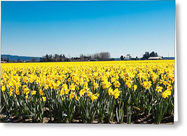 Daffodils And Blue Skies Greeting Card