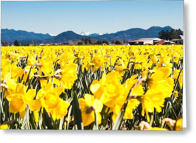 Daffodils And Snow-capped Mountains Greeting Card