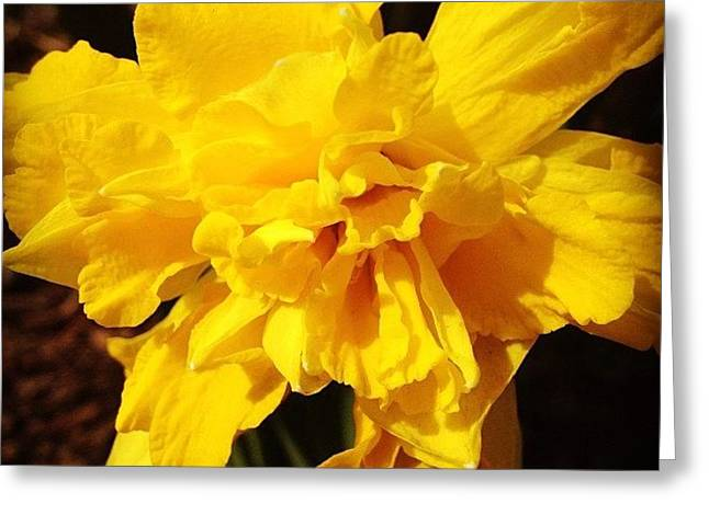 Daffodils Are Blooming Greeting Card