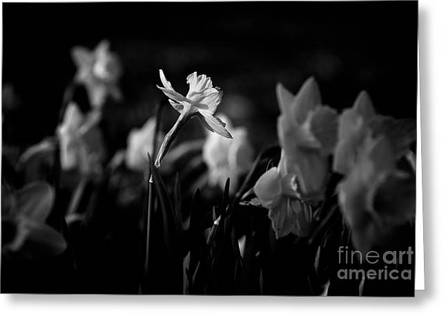 Daffodils In Black And White Greeting Card